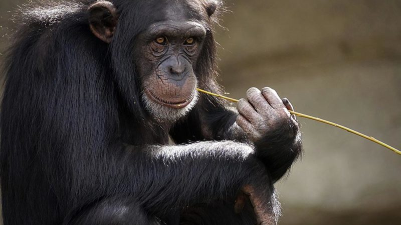 Les chimpanzés aussi aiment l'alcool