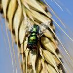 Photographie d'une mouche posée sur un épi de blé.