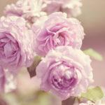 Photographie de roses du jardin, d'un rose pâle