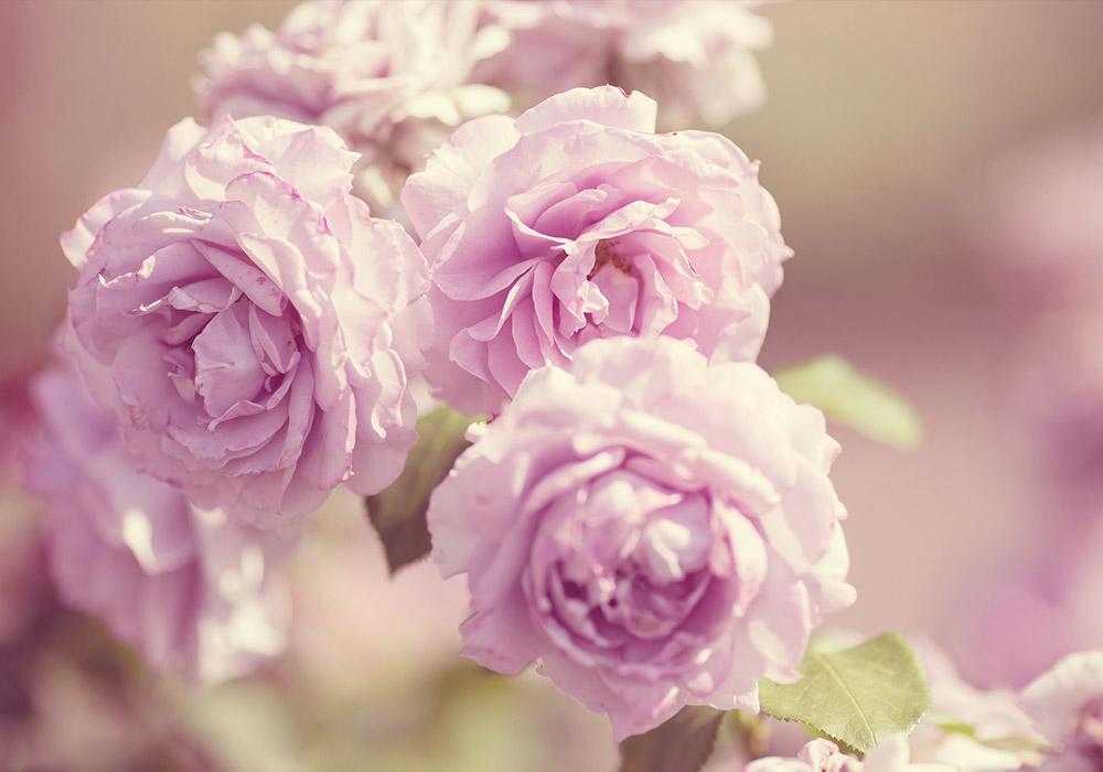 Le mystère résolu: l'origine de l'odeur de la rose