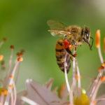 Photographie d'une abeille qui pollinise