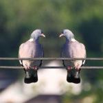 Photographie de deux pigeons sur un fil électrique.