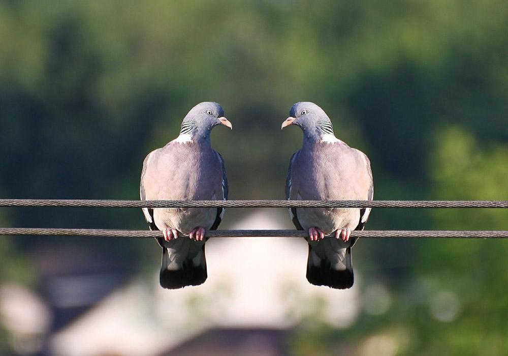 Les pigeons pour dépister le Cancer?