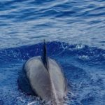 Photographie d'un dauphin, vue de dessus.