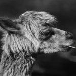Photographie en noir et blanc d'un alpaga qui grignote de la paille.