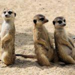 Photographie de trois surricates.