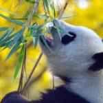 Photographie d'un panda qui se nourrit de bambou.