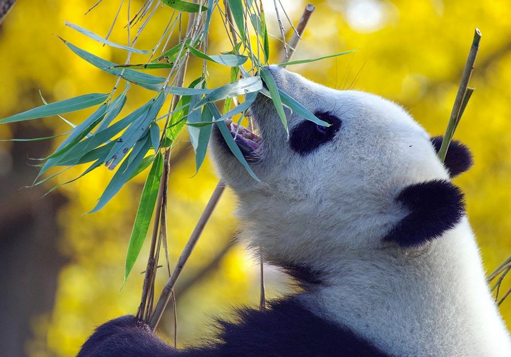 5 choses à savoir sur les pandas
