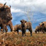 Un bétail de bisons Européen
