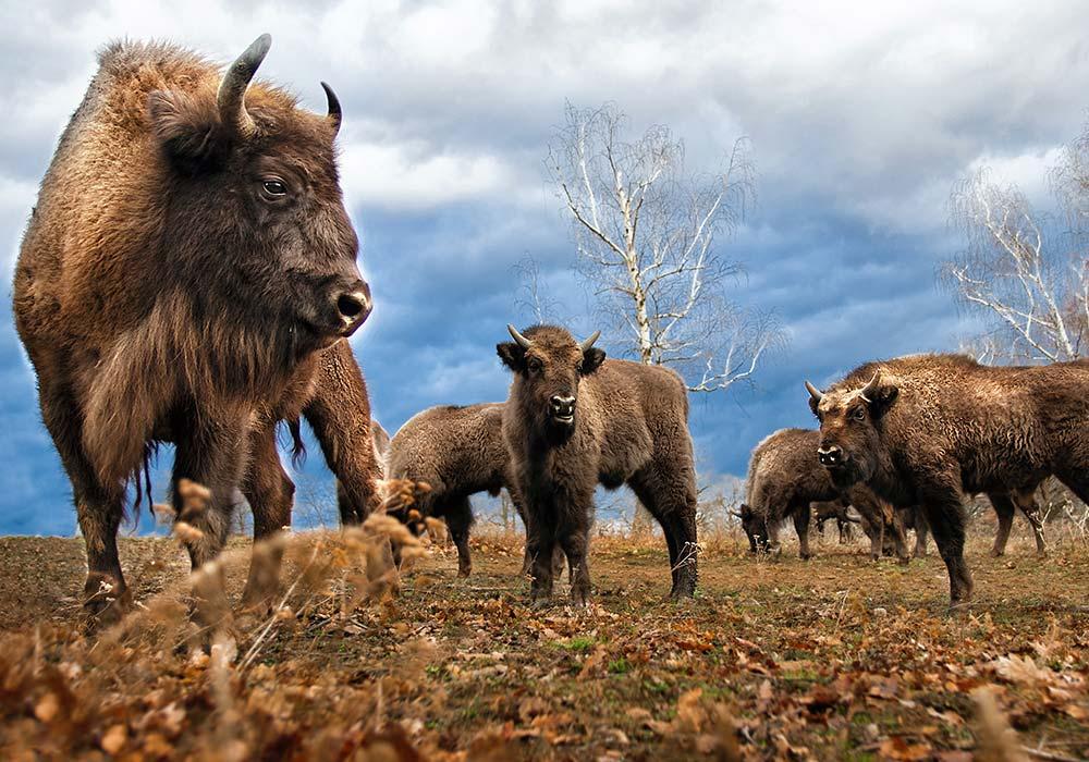Le bison d'Europe : un colocataire pas si « bête »
