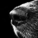 Photographie en noir et blanc de la truffe d'un chien