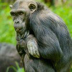 Photographie d'un bonobo