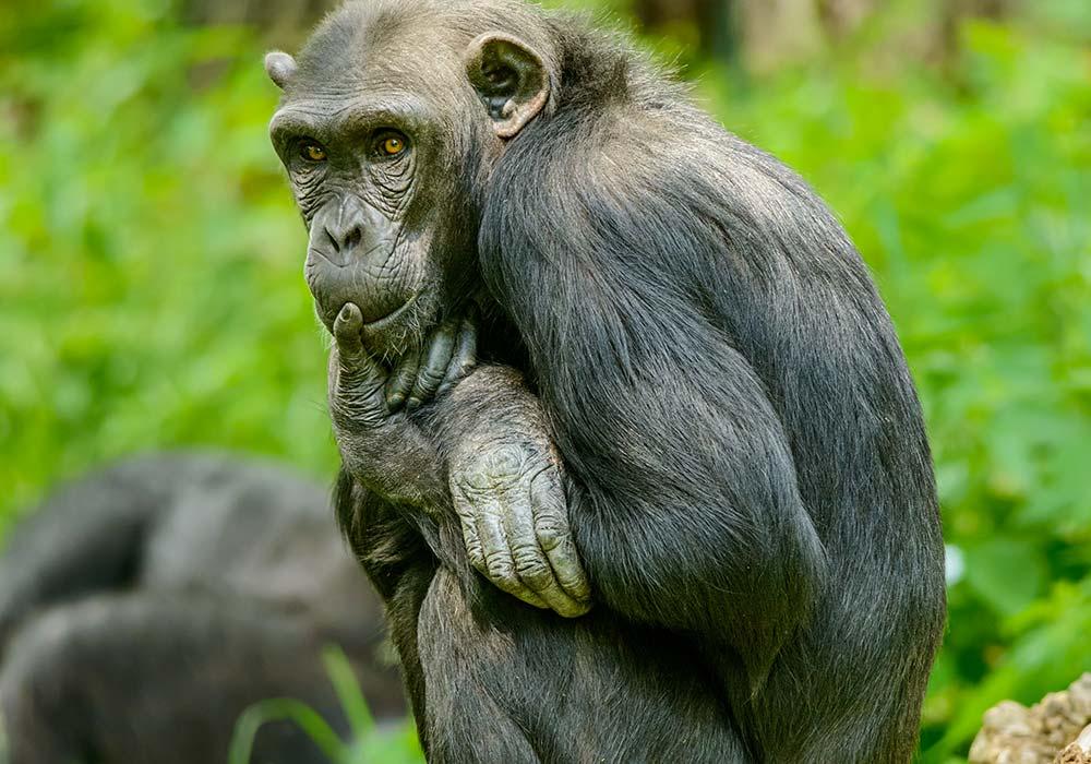 Le Bonobo communique le postérieur en l'air